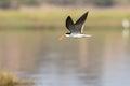 Caspian tern in flight Royalty Free Stock Photo