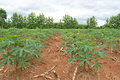 Cassava crop field thailand Royalty Free Stock Photo