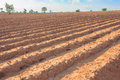 Cassava field in thailand bunches of breeding sapling of and soil cultivation Stock Image