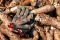 Cassava and glove of labor, pile cassava for tapioca flour industry, raw yucca tuber, cassava in top view