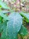 cassava leaves when exposed to rain