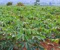 Cassava plantation