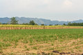 Cassava plantation field and blue sky Stock Images