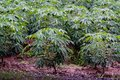 Cassava tree with rain drop