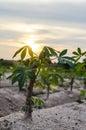 Cassava trees