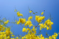 Cassia fistula in clear blue sky national tree of thailand Stock Photos