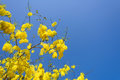 Cassia fistula in clear blue sky national tree of thailand Stock Image