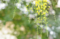 Cassia fistula golden shower flower at sunset Stock Photos