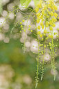 Cassia fistula golden shower flower at sunset Royalty Free Stock Photos