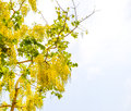 Cassia fistula golden shower tree with blue sky Stock Image