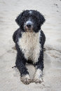 Cassie the Spanish Water Dog Stock Image