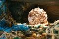Cassis rufa seashell in tidepool Stock Image