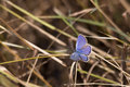 Cassius Blue Butterfly, Florida