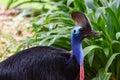 Cassowary bird in thailand zoo Royalty Free Stock Photography