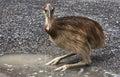 Cassowary chick Royalty Free Stock Photo