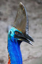 Cassowary distinctive features of endangered head with sharp eye focus Royalty Free Stock Images