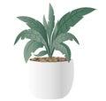Cast-Iron Plant with pot