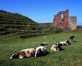 Castle gardens tutbury england with sheep relaxing in the foreground staffordshire uk western europe Stock Photography