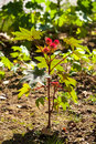 Castor oil plant Royalty Free Stock Photo