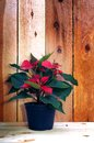 Casual poinsettia tree in evening time Stock Photography