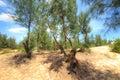 Casuarina pine tree at phuyen province vietnam Royalty Free Stock Photo