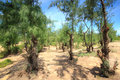 Casuarina pine tree at phuyen province vietnam Royalty Free Stock Photos
