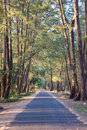 Casuarina tree beach road under the fir Stock Photos