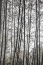 Casuarina tree black white very hight in krabi thailand Royalty Free Stock Images