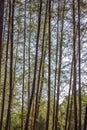 Casuarina tree very hight in krabi thailand Royalty Free Stock Image