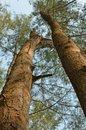 Casuarina trees forest of tall reaching for the sky Stock Image