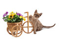 A cat against a white background next to a basket of flowers. Royalty Free Stock Photo