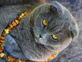 The cat in the amber beads scottish fold grey eye color eyes lying on a gray fluffy blanket color of wool Stock Photography