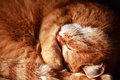 Cat asleep closeup of ordinary domestic ginger Royalty Free Stock Photography