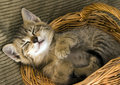 Cat in the basket Stock Photography