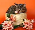 Cat in a basket with flowers. Royalty Free Stock Photos