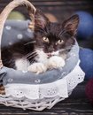 The cat is in the basket with his mouth open Royalty Free Stock Photo
