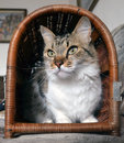 Cat in a basket sitting voluntarily Stock Photography