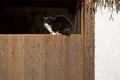 Cat basking on a barn door on a farm in Dutch Open Air Museum in Arnhem Royalty Free Stock Photo