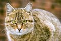 Cat beautiful looking at the camera Royalty Free Stock Photo
