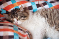 Cat in bed fat male sleeping Stock Photography