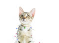 A cat bind wire lights for christmas on over white background Stock Images