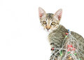 A cat bind wire lights for christmas on over white background Royalty Free Stock Photo