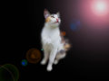 Cat with black background beautiful and lens flare Stock Image