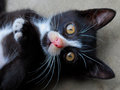 Cat black and wihite cute Royalty Free Stock Photo