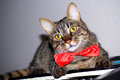 Cat in a bow tie tabby wearing red Royalty Free Stock Photos