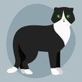 Cat breed british shorthair cute pet portrait fluffy adorable cartoon animal and pretty fun play feline white black