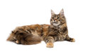 Cat breed maine coon isolate on white Stock Images