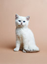 Cat of the British breed. Rare coloring - a silver Stock Image