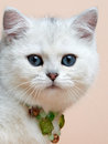 Cat of the British breed. Rare coloring - a silver Stock Images