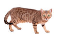 Cat brown breed bengal leopard prionailurus bengalensis isolated on white background Stock Image